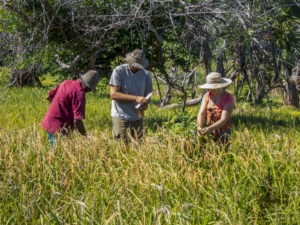 Our team members, the Jobes, learning to harvest rice with the king of Nosy Mitsio.